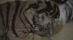 Video of two little tiger cubs biting and playing with each other. Stock Footage