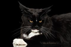 Closeup Angry Maine Coon Cat Looking Camera, Isolated Black Background Stock Photos