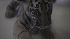 Video of baby little tiger cub lying on the floor. Stock Footage