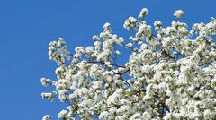 beautiful apple tree in the garden - stock photo