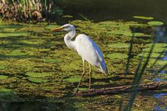 White heron standing on fallen trees in the swamp Stock Photos