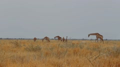 Giraffa camelopardalis grazing on tree Stock Footage