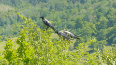 Ravens sitting on a green tree, sunny summer day. Crows fly from the tree. - stock footage