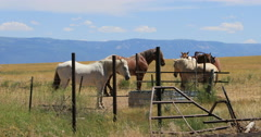 Horses around water sad conditions in dry valley pasture DCI 4K - stock footage