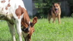 Dog herding cow Stock Footage