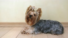 Dog Yorkshire terrier sitting on the floor of the room, then leaves. Stock Footage