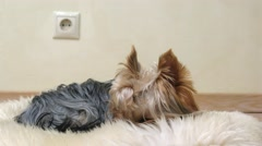 Dog Yorkshire terrier lying on the furs, then falls asleep. Stock Footage