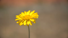 Yellow Single Daisy Blowing in the Wind Stock Footage