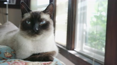 Siamese Cat On Couch Looking Around Near Window - stock footage