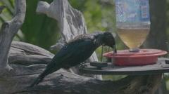 Tui bird on Tiritirimatangi island, auckland, new zealand Stock Footage
