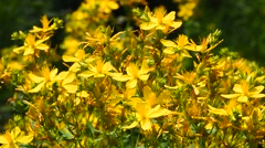 Chelidonium, celandine, kilwort flowers in wind Stock Footage