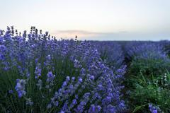 Purple flowers in a lavender field in bloom at sunset, moldova Stock Photos