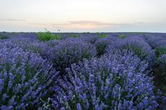 purple flowers in a lavender field in bloom at sunset, moldova - stock photo
