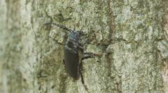 4K Broad-necked Root Borer (Prionus laticollis) - Female Stock Footage