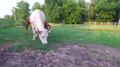 Cows graze on the lawn next to the park. Stock Footage