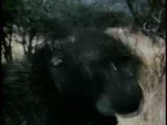 Closeup of jabbering monkey in South African bush, 1970s Stock Footage