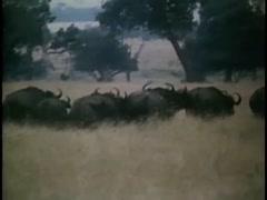 Herd of wild buffalo traveling across Angolan bush, 1970s Stock Footage