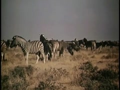 Herd of zebras running away after spotting truck in Angolan bush, 1970s Stock Footage