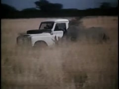 Rhinoceros chasing pick-up truck in South African bush, 1970s - stock footage