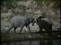 Two elephants playing by the river in Angolan bush, 1970s Stock Footage