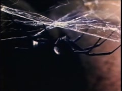 Closeup of black widow spider killing her mate in spider web, 1970s Stock Footage