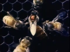 Closeup of queen bee and worker bees on honeycomb, 1970s Stock Footage