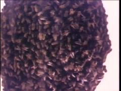 Closeup of woman's head completely covered in bees, 1970s Stock Footage