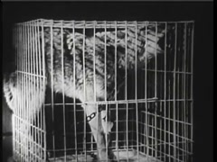 Chained wolf howling in cage, 1940s Arkistovideo