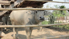 Buffalo in stable, rural of thailand Stock Footage