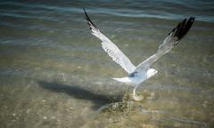 The white seagull bird is starting to fly from the sea Kuvituskuvat
