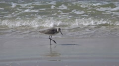 Sandpiper feeds in surf Stock Footage