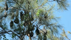 Gray-headed flying foxes Stock Footage