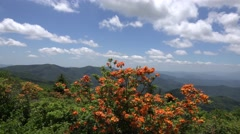 Wild Flame Azalea: Appalachian Mountains Stock Footage