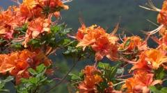 Wild Flame Azalea: Appalachian Mountains Stock Footage