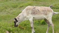 Caribou adult female feeding Stock Footage