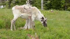 Caribou adult female feeding - stock footage