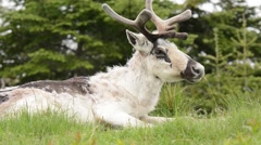 Caribou adult male chewing cud - stock footage