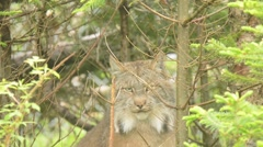 Lynx looking around Stock Footage