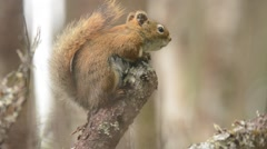 Red Squirrel calling Stock Footage
