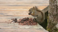 Red Squirrel feeding on cones - stock footage