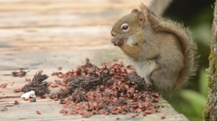 Red Squirrel feeding on cones Stock Footage