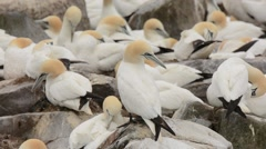Northern Gannets at nests Stock Footage