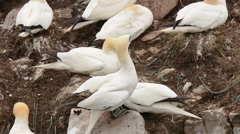Northern Gannets nest relief Stock Footage
