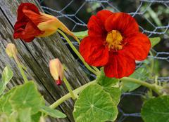 Deep red nasturtium flower growing against green leaves Stock Photos