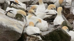 Northern Gannets preening Stock Footage