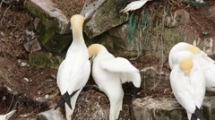 Northern Gannets fighting Stock Footage
