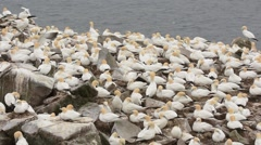 Northern Gannet rookery Stock Footage