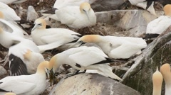 Northern Gannet with nest material Stock Footage