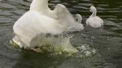 Black-necked Swans and cygnets interactions - stock footage