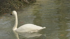 Whooper Swan feeding Stock Footage